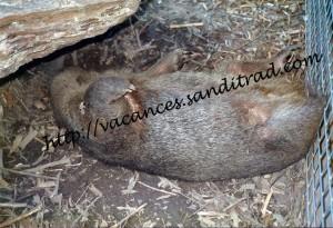 Wombat-Oz