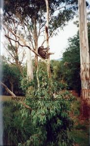 koala-eucalyptus