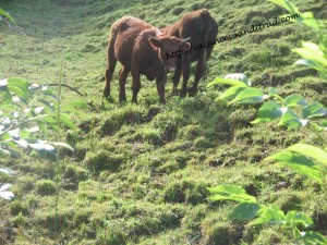 vaches Salers Cantal
