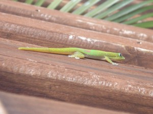 Mayotte_lezard