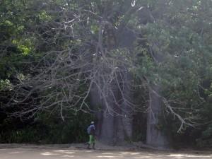 baobab_mahorais