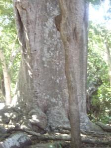 tronc_baobab