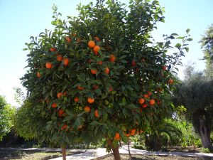 Oranger à Marrakech
