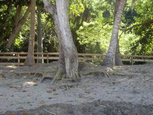 racines_baobab
