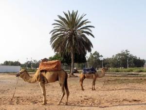 Dromadaires et palmier à Agadir